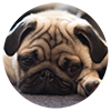 404 Sad Pug Dog Image