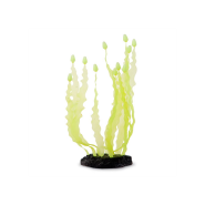 Sporn Yellow Caulerpa Seaweed
